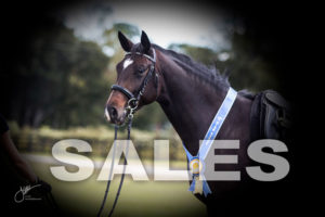 We sell high quality Dutch Warmbloods, Hanoverian, dressage and hunters