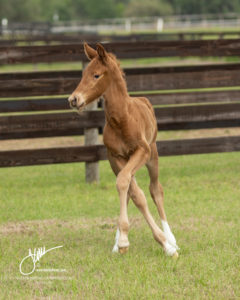 2018 Kabibi Filly