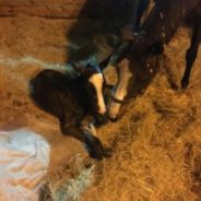 Welcome to our newest foal by Field Commission